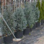 Chamaecyparis Lawsoniana ColumnarisChamaecyparis Lawsoniana Columnaris – Blue Cypress