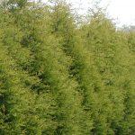Cuppressus Leylandii 'Castlewellan Gold' – Golden Leylandii