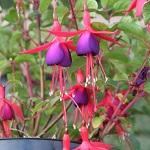 Fuchsia Riccartonii